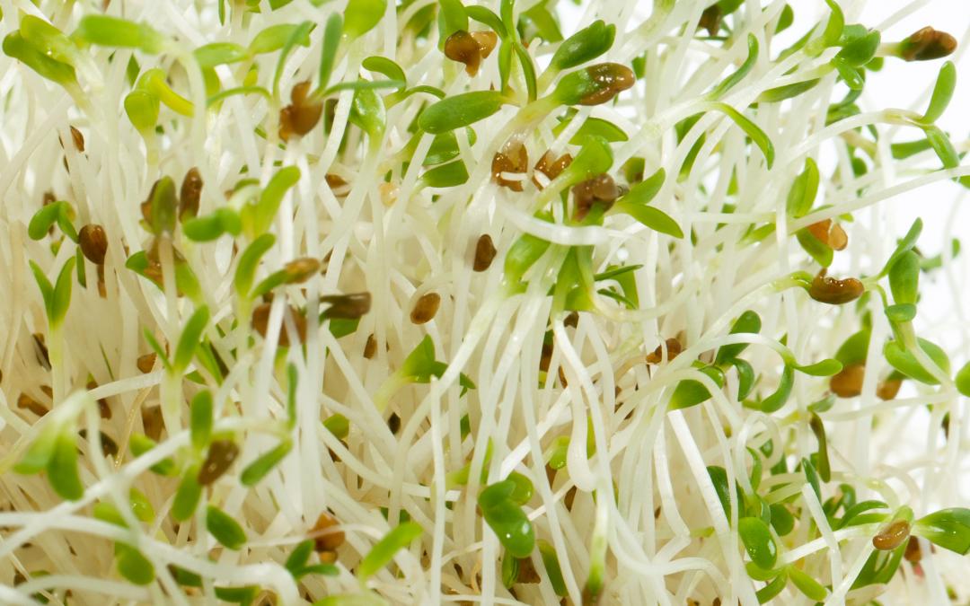 Alfalfa — zczym to sięje?